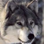 ghostwolf